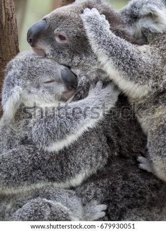 mother koala cuddling with two baby koalas #679930051
