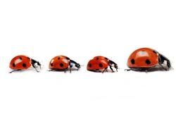 Mother ladybug with three little kids