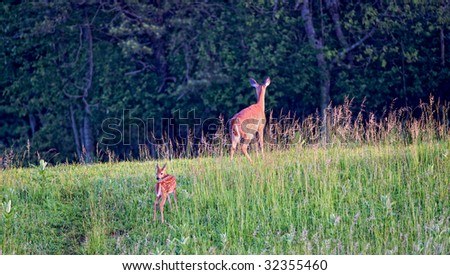 Mother leading Fawn into Forest at Shenandoah National Park