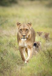 Mother lioness leading her lion cubs through green bush in Savuti Okavango Delta in Botswana