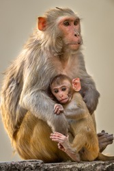 Mother loving her baby. Rhesus macaque or Macaca mulatta monkey mother and baby in cuddling moment