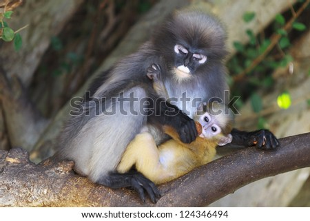 Mother macaque feeds her baby