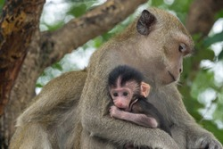 Mother monkeys take care of baby monkeys.