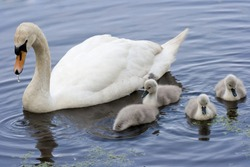Mother Mute Swan and her family of cygnets on a river.