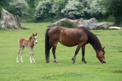 Mother New Forest pony and baby newborn foal grazing on green pasture