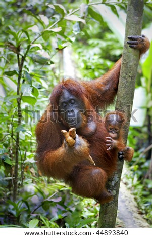 Mother orangutan and her baby photographed in the jungle in Sabah, Borneo, Malaysia