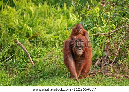 Mother orangutan (orang-utan) with funny cute baby on hers neck in theirs natural environment in the rainforest on Borneo (Kalimantan) island with trees and palms behind.  Stock photo ©