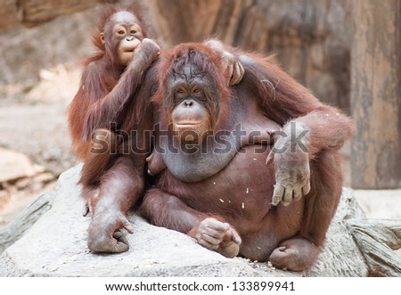 Mother orangutan with her cute baby at Khao Kheow open Zoo in Thailand.