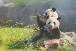 Mother Panda Yuan Yuan and her baby Panda Yuan Meng are Snuggling and eating bamboo,looking at the camera, in the morning, zoo beauval, France