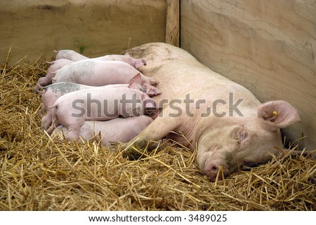 mother pig suckling her babies