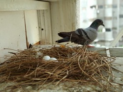 Mother Pigeons waiting for its Offsprings. 2 Pigeons eggs can be seen in a nest made by mother pigeon. Because of urbanization very little space is left fpr birds to build their nest
