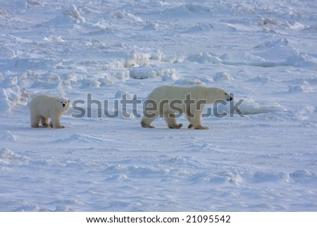Mother polar bear and cub in the arctic