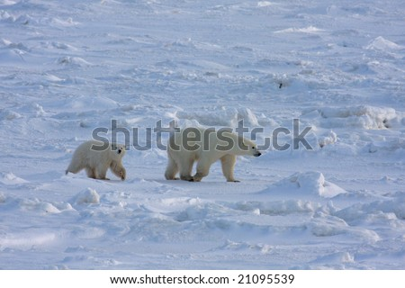Mother polar bear and her cub in the arctic