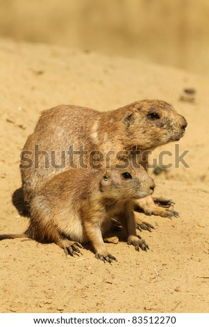 Mother prairie dog with her baby (focus on the little one) - stock photo