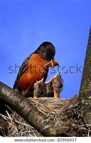 Mother Robin Feeding Worm To Three Hungry Open Mouthed Chicks In The Nest.