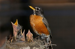 Mother Robin watching over three chicks in the nest