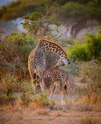 Mother's love as young calf nurses at dawn