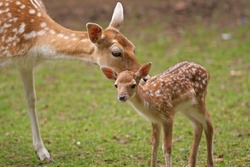 Mother's love, deer and cute fawn