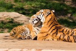 Mother's love -  tigress and cute cub