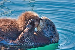 Mother sea otter kissing her baby on the lips.