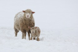 Mother sheep and baby lamb in the snow