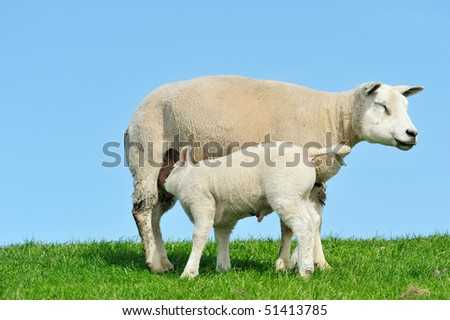 Mother sheep and her lamb drinking milk in spring, Friesland The Netherlands