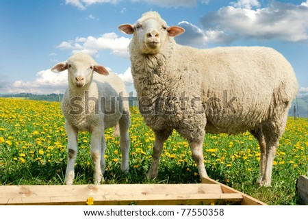 Mother sheep and her lamb in dandelion field