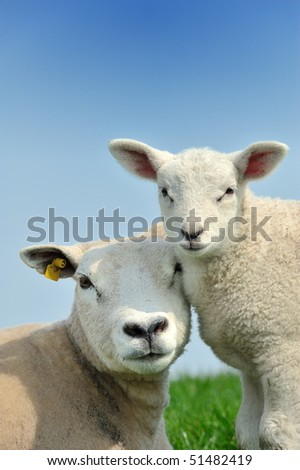 Mother sheep and her lamb in spring, Friesland The Netherlands