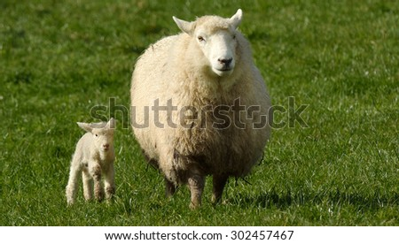 Mother sheep and her lamb looks at the camera in a sheep farm station in New Zealand. copy space