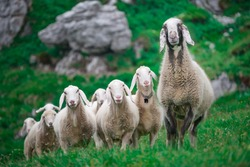 Mother sheep with group in the meadow