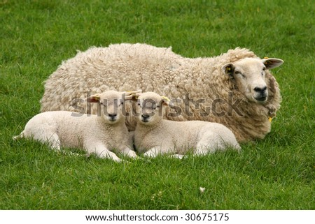 Mother sheep with two little lambs laying in the grass and looking at you
