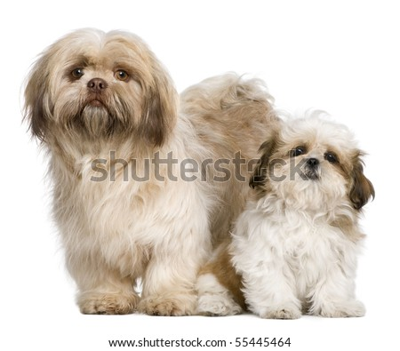 Mother Shih Tzu and her puppy, 3 years old and 3 months old, against white background