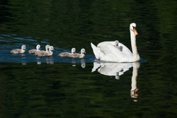 mother swan and chicks, one on the back and the others in water