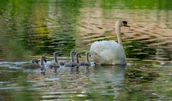 Mother Swan and her chicks on a pond in london