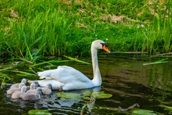 Mother swan with her little swans