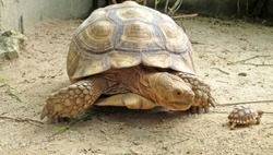 mother tortoise and her baby (Africa spurred tortoise)