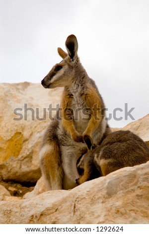 Mother Wallaby & Joey