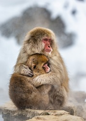 Mother with a baby Japanese macaque sitting on the stone. Japan. Nagano. Jigokudani Monkey Park.