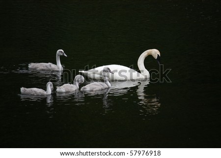 Mother with four baby swans - cygnets