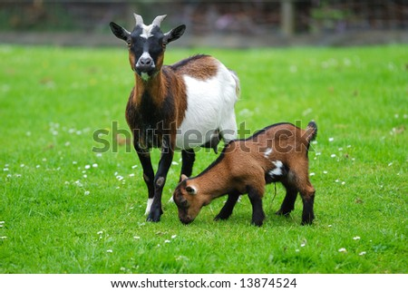 Mother with her young goat on a grass field.
