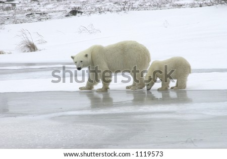 Mother with Polar Bear Cub at Churchill Manitoba
