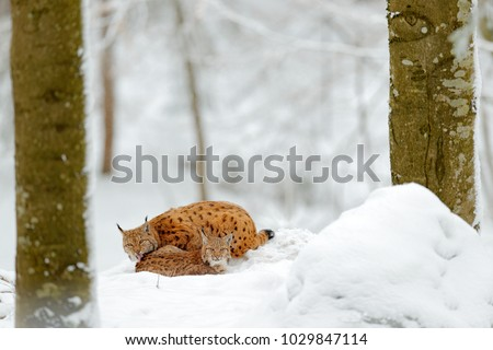 Mother with young, wild cat family. Lynx in nature wildlife habitat. Two cats hidden in the forest. Eurasian Lynx in winter. Wildlife scene from Czech nature. Snowy animal in nature habitat.