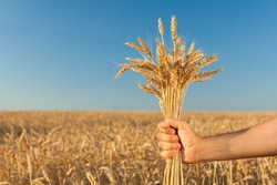 motherland, agriculture, production concept. in the male arm there is great bundle of shinning sunny barley staning out clearly against the main color of background of blue skies. with negative space