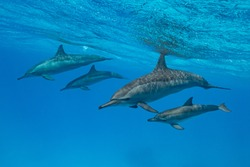 mothers and babies  Spinner dolphins (Stenella longirorstris) swimming over sand in Sataya reef, Egypt, Red Sea
