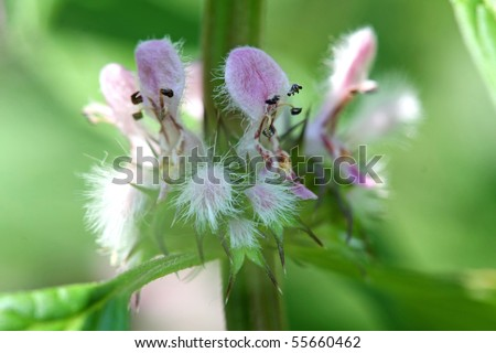 Motherwort Flower - Leonurus cardiaca