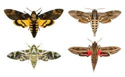 Moths species. Daphnis nerii -oleander hawk-moth or army green moth,Convolvulus Hawk moth -Agrius convolvuli,Death's head Hawk moth -Acherontia atropos,Silver-striped hawk-moth-Hippotion celerio