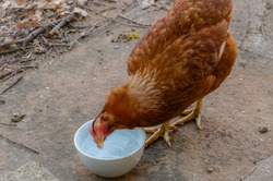 Motion-blurred photo of a female red laying hen, snorting by shaking the head above a bowl of water, in the barnyard of a free range which belongs to an organic farm in Occitanie, Southwest of France