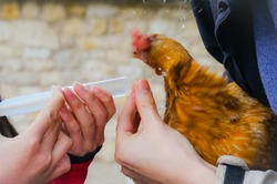 Motion-blurred photo of an ill laying hen refusing to drink the medicine administered with a pipette ; the bird snorts with a turning movement of the head and spatters the farmers with water drops