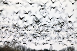 Motion Bluurred Panned  Snow Geese