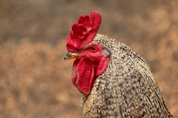 Motley rooster or grey spotted rooster chicken with red comb closeup, poultry farming, livestock, village life, domestic animal